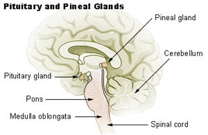 pituitary-and-pineal-glands.jpg